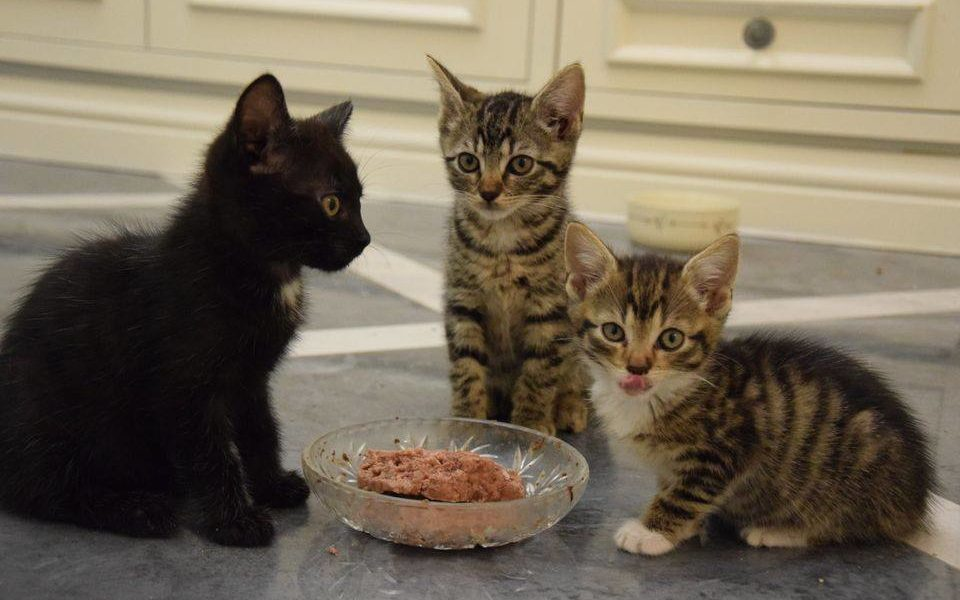 Potrzebna pomoc dla chorych kociaków..